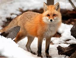 NJDEP Division of Fish & Wildlife - <b>Foxes</b> in New Jersey