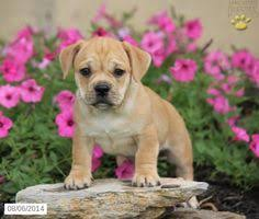 cute puppies for sale 2014. Wonderful Sale Jug Puppy For Sale In Pennsylvania For Cute Puppies 2014 U