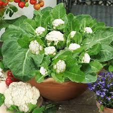 cauliflower plant. Modren Cauliflower Growing Cauliflower In Containers Intended Cauliflower Plant F