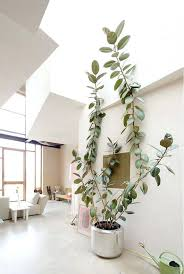 big indoor plants tall ceiling allow big plants big house plants uk