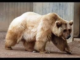 grolar bear size the grolar bear grizzly bear polar bear youtube