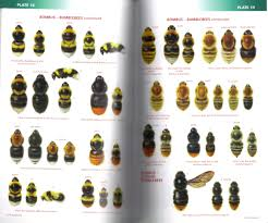 Bee Identification Chart Uk Field Guide To The Bees Of Great Britain And Ireland