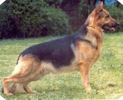 The German Shepherd Dog ( Alsatian ) Club of the U.K. Home