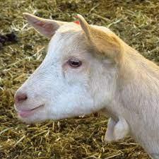 Ver más ideas sobre cabras, cabras lecheras, ganado caprino. File Cabrita Con Pom Pom 106099227 Jpeg Wikimedia Commons