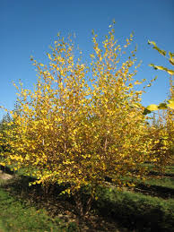 Image result for river birch tree