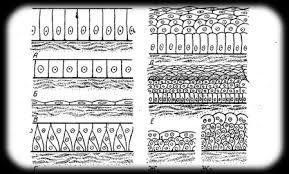 Реферат Строение и классификация тканей Реферат Строение и классификация тканей