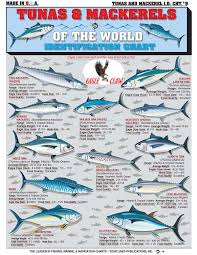 Tuna Fish Size Chart The Chart Of Tuna And Mackerel Spanish Mackerel King