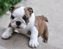really cute english bulldog puppies. Interesting Really This Compilation Of Absolutely Adorable English Bulldog Puppies Photos  Go Ahead And Test It Out By Taking A Look Falling In Love With These Babies And Really Cute Puppies