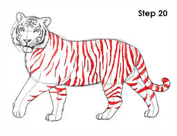 tiger drawing pictures. Delighful Drawing Draw Tiger 20 Intended Drawing Pictures W