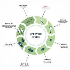 head lice life cycle how long do lice