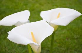 of calla lily and its meanings