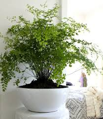tips on growing maidenhair ferns best low light office plants