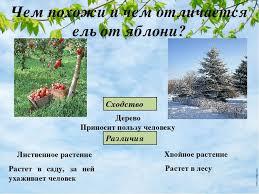 Презентация на тему Дикорастущие и культурные растения Сколько  Чем похожи и чем отличается ель от яблони Сходство Дерево Приносит пользу че