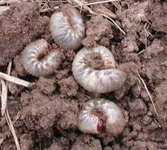 Time For Preventive White Grub Control Kentucky Pest News