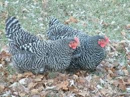 The 27 Best Blogs For Homesteading And Backyard ChickensBackyard Chicken Blog