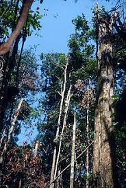 broken trees create gaps in the central amazon