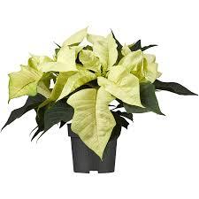 Weihnachtsstern Weiß Topf ø Ca 11 Cm Euphorbia