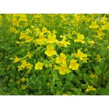 numerous bright yellow flowers with small reddish spots throughout the summer make it a popular plant for the bog or water garden