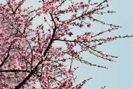 Cherry Trees That Do Not Bear Fruit  Home Guides  SF GateWhen Do Cherry Trees Bear Fruit