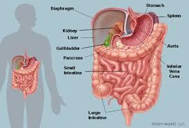 Internal Organ Location Chart The Abdomen Human Anatomy Picture Function Parts