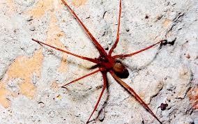A San Marino soccorso paziente con i sintomi del morso del ragno violino