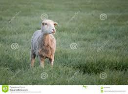 Light Livestock Ewe In Field In The Morning Light Stock Image Image Of