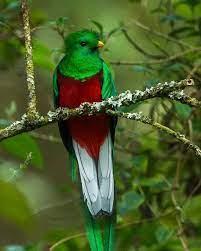 "Widely regarded as the ""rare jewel bird of the world,"" the Resplendent  Quetzal (Pharomachrus mo…   Ave nacional de guatemala, Aves exóticas, Aves  exoticas del mundo"