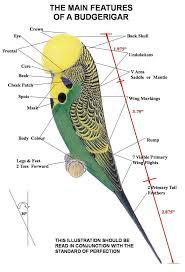 Budgie Parts Budgies Parakeet Care Parakeet Cage