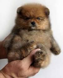 black pomeranian teddy bear cut. Contemporary Bear Teacup Teddy Bear Pomeranian For Sale Inside Black Cut D
