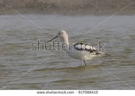 Small Picture American Avocet Stock Images Royalty Free Images Vectors