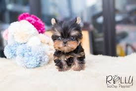 teacup puppy yorkie. Contemporary Puppy Heather  Yorkie Rolly Teacup Puppies To Puppy Y
