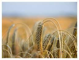 Resultado de imagem para o trigo e o joio