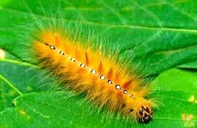 Yellow Caterpillar Identification Chart A Truly Helpful Caterpillar Identification Chart