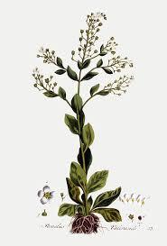 File:Samolus valerandi — Flora Batava — Volume v1.jpg ...