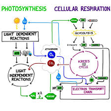 chapter 4 photosynthesis cell respiration study guide name worksheet photosynthesis and respiration worksheet picture