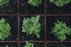 Image result for How often should Basil be watered?