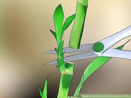 Image titled Care for an Indoor Bamboo Plant Step 9
