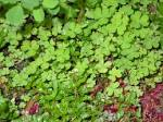 Images & Illustrations of creeping oxalis