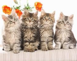 cute cat wallpaper backgrounds. Modren Wallpaper CUTE CATS WALLPAPERS Intended Cute Cat Wallpaper Backgrounds A