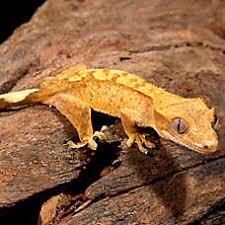 petsmart reptiles for sale. Simple Petsmart Eyelash Crested Gecko To Petsmart Reptiles For Sale H