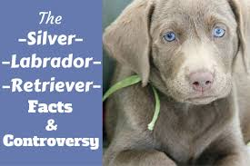 yellow lab with blue eyes. Perfect Eyes A Lying Silver Labrador Retriever Puppy Looking Into Camera For Yellow Lab With Blue Eyes E