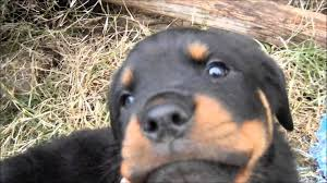 baby rottweiler. Beautiful Rottweiler Aggressive Baby Rottweiler Pup For YouTube
