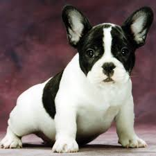 black and white french bulldog. Delighful French Inside Black And White French Bulldog