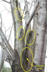 tree bark repair methods. Modren Bark Past The First Few Limbs At Left This Trees Unions Are Deep Tree Bark  Repair Methods  Intended Tree Bark Repair Methods F