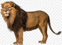 lion wallpaper png 1279x930px lion