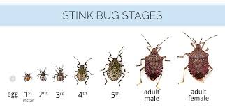 Bug Id Chart What Are Stink Bugs What Do Stink Bugs Look Like Stink