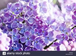 Lilacs In Landscape Design Macro View Blossoming Syringa Lilac Bush Springtime