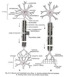 Neurons With Diagram