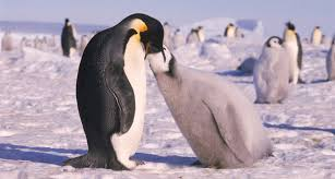 emperor penguins eating. Interesting Eating Emperor Penguin And Chick Throughout Penguins Eating S