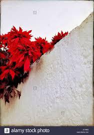 Ein Weihnachtsstern Pflanze So Groß Wie Ein Baum Mit
